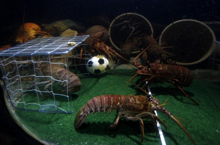 119428-crawfish-fight-for-a-miniature-soccer-ball-filled-with-food-in-their-t