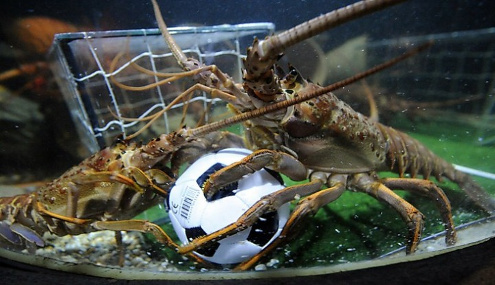Two langoustines fight for a football in